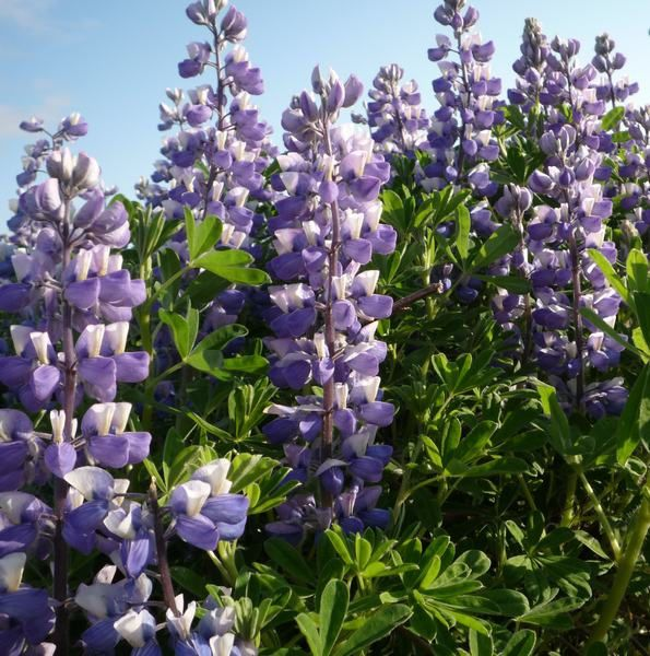 lupins-1