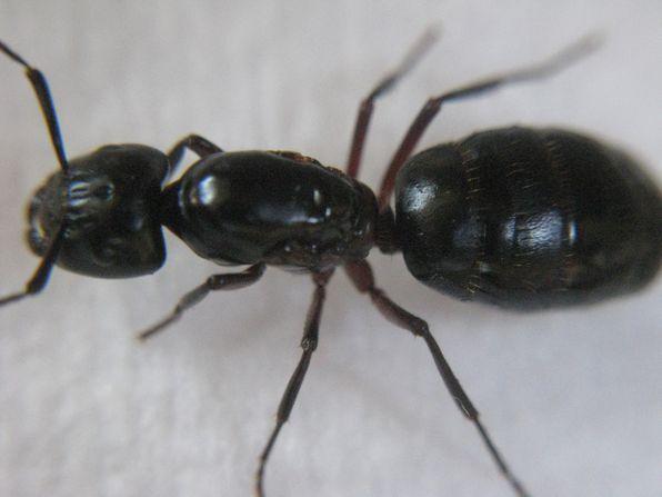 Camponotus-Ligniperdus 9821