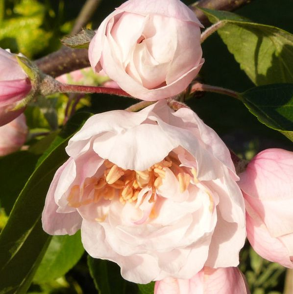 malus-charlottae---une-fleur-comme-un-jupon---mai-2014.jpg
