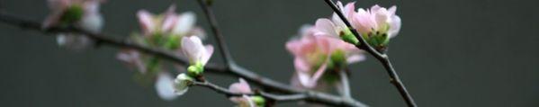 cropped-hoa_dao_ngay_xuan_screen.jpg