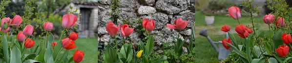 tulipes-avril-2012.jpg