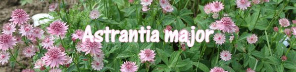 Astrantia-major.jpg