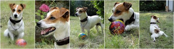 jack russell 1 an