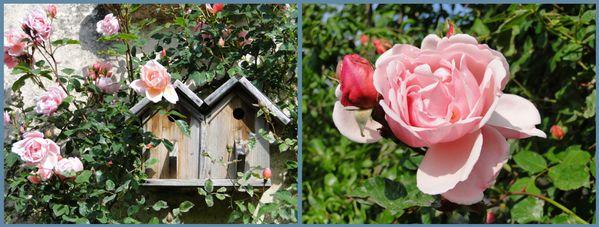 roses-albertine-compo.jpg