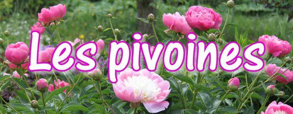 c2. Les pivoines herbacées (Paeonia)