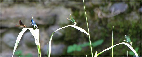 libellule1