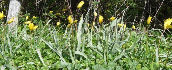 Tulipa-sylvestris.jpg