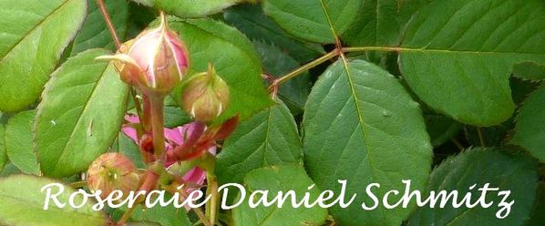 Roses-Daniel-Schmitz--juin-2010.jpg