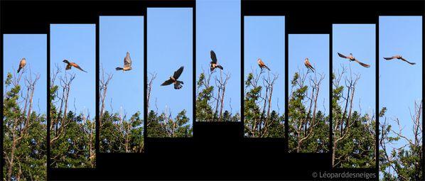 b11-23-1 Faucon crécerelle chêne