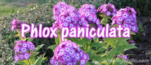 phlox-paniculata.jpg
