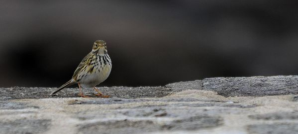 Pipit farlouse Olivier VANNUCCI