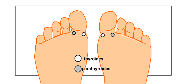 Points-reflexes-de-la-thyroide-et-des-parathyroides.png