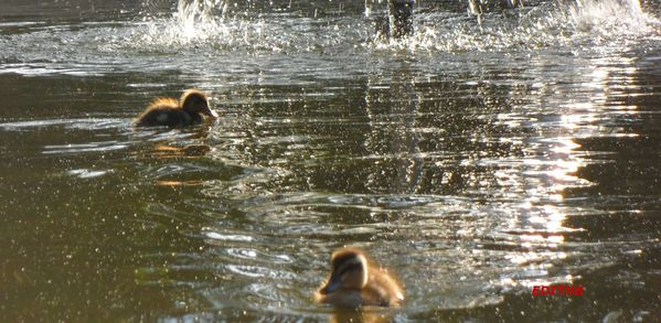CANARDS (1)-copie-1