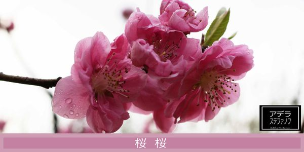cherry-blossom-sign--fb.jpg