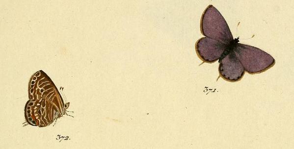 telicanus-Hubner-fig-371-372.png