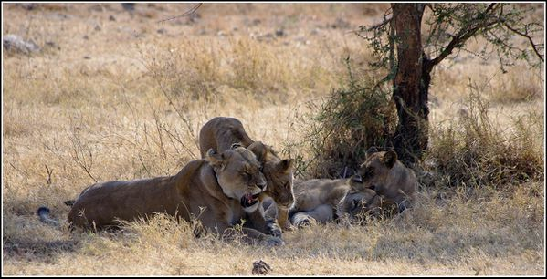 lionnes du serengeti