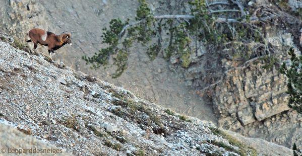 b10-36 Bélier mouflon 2 37