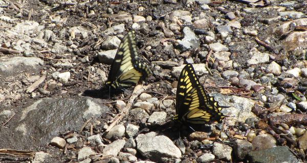 Butterfly - Anise Swallowtail