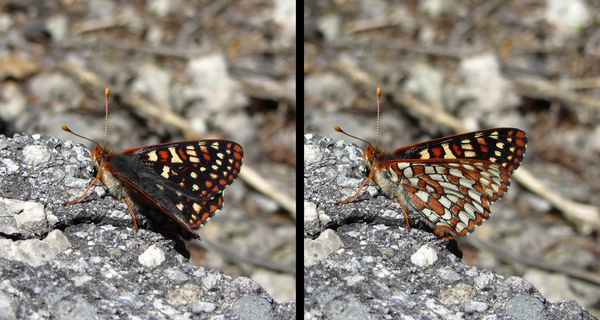 Butterfly - Checkerspot