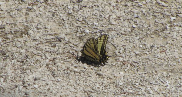 Butterfly - WesternTiger Swallowtail