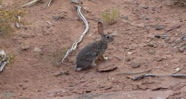 Cottontail1