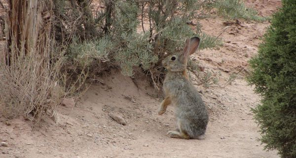 Cottontail2