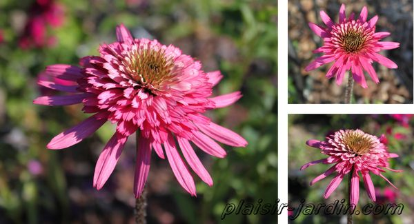 echinacea-purpurea--pink-double-delight.jpg