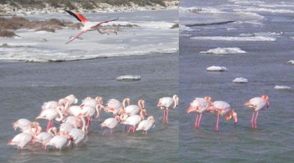 froid flamants roses dans mistral