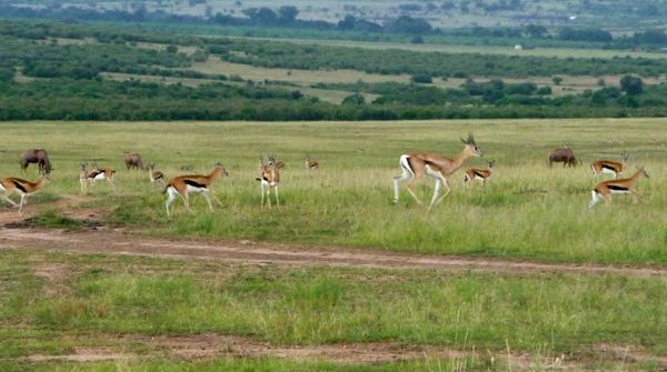 Gazelles courent