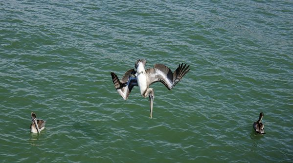 pelicans from naples-by albi