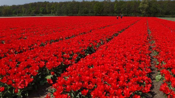 tulipes07