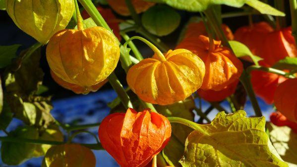 Une plante pleine de soleil le blog de ecureuilbleu - Fruit cage d amour ...