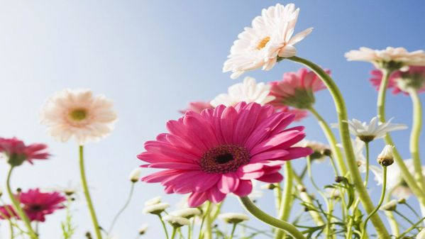 flowers-wallpapers,1366x768,27494