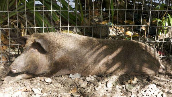 Porc Tuvalu - Photo M.BAARSCH
