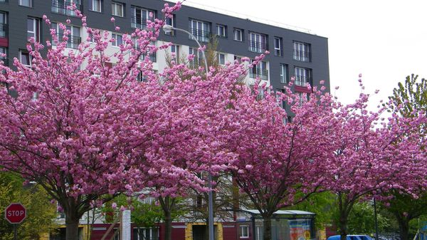 006 Cherry Blossoms, Cherbourg