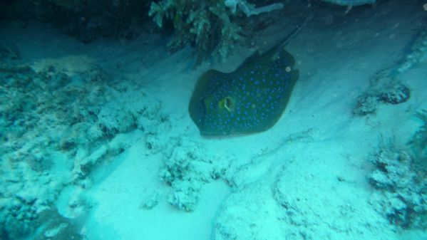 blue spotted ribbontail ray 2 [1600x1200]