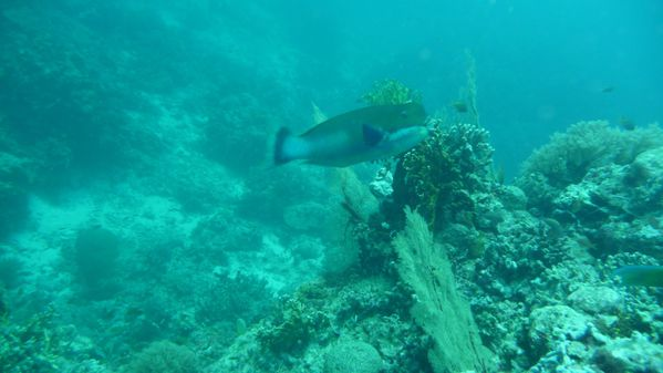 parrotfish [1600x1200]