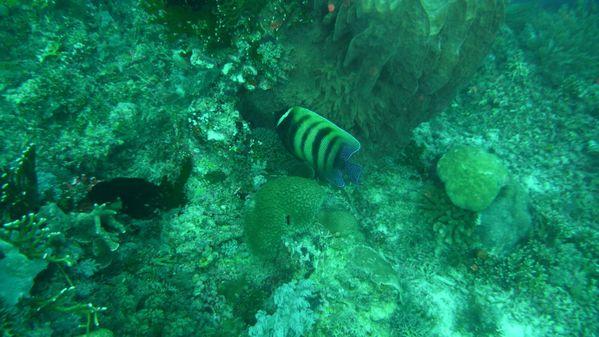 six banded angelfish [1600x1200]