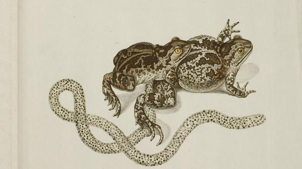 Roesel ranarum Planche XVIIa