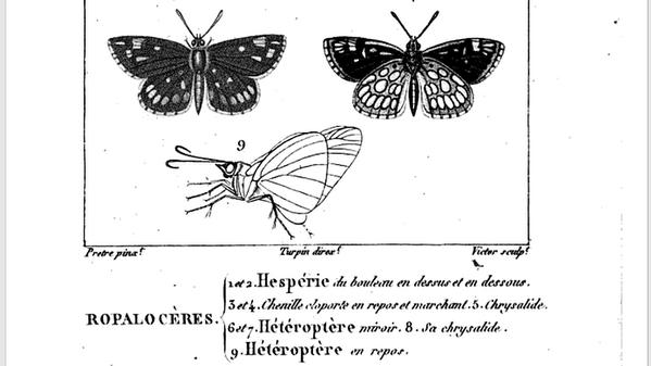 Heteroptere-Miroir-Dumeril-1823-pl.41.png