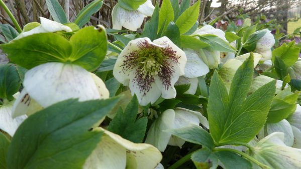Helleberorus-white-spotted.jpg
