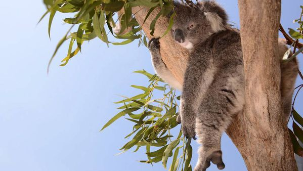 L-hopital-des-koalas.jpg
