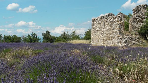 Champs-lavandes-ruines-provence.jpg