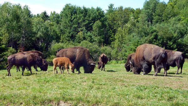 Parc Omega bisons troupeau