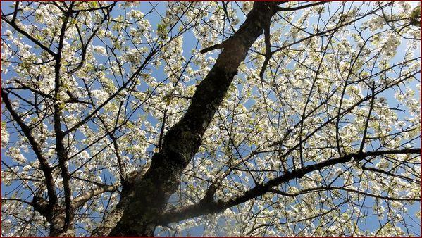 cerisier-9.jpg