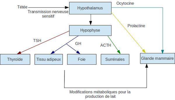 Schéma physiologie lactation