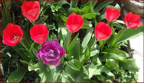 tulipes-2.jpg
