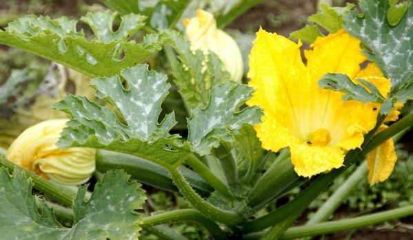 courgettes 009