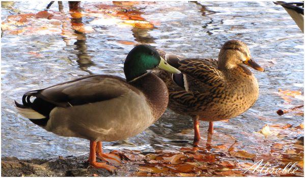 Deux-canards--fin.jpg