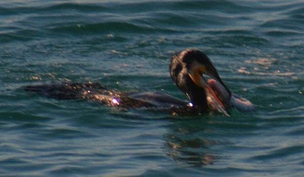 cormoran4